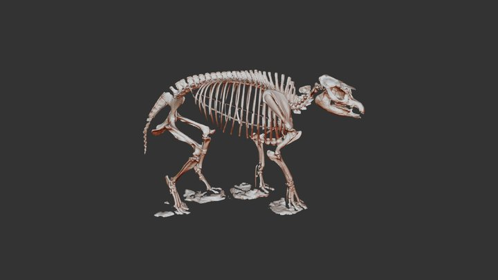 ETMNH 576 ' Snapir' Skeletal Mount (PRELIMINARY) 3D Model