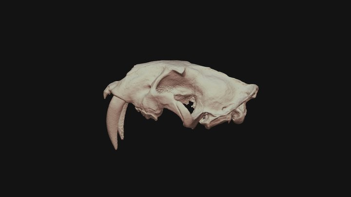 Smilodon gracilis (Saber toothed tiger) 3D Model