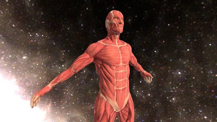 Ejercicio 1 - Músculos 3D Model