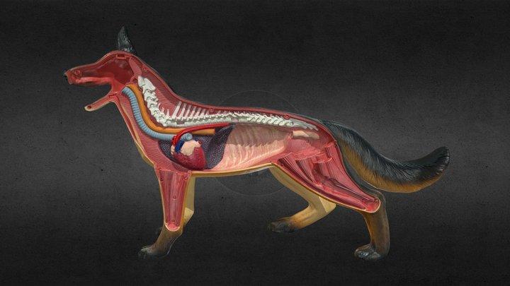 Dog Anatomy Toy 3D Model
