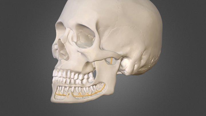Skull, mandible and the inf. alveolar nerve 3D Model
