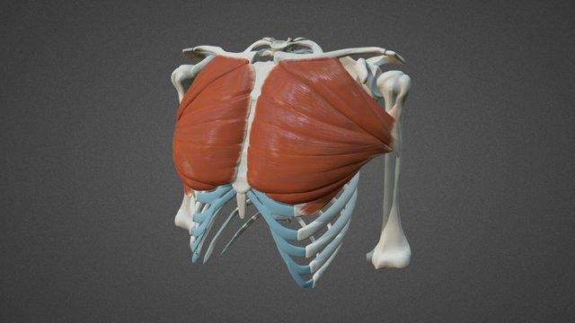 Pectoralis Major 3D Model
