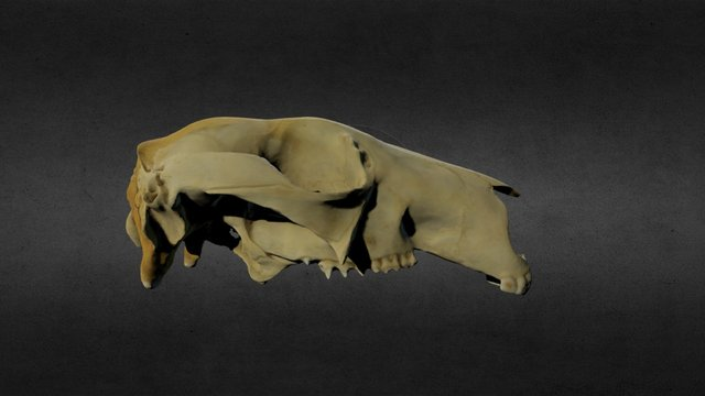 Macropus rufus 3D Model