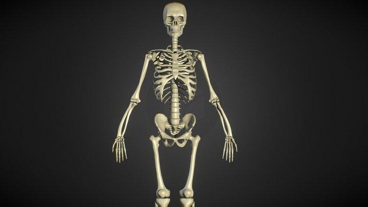 Male Human Skeleton - ZBrush - Anatomy Study 3D Model