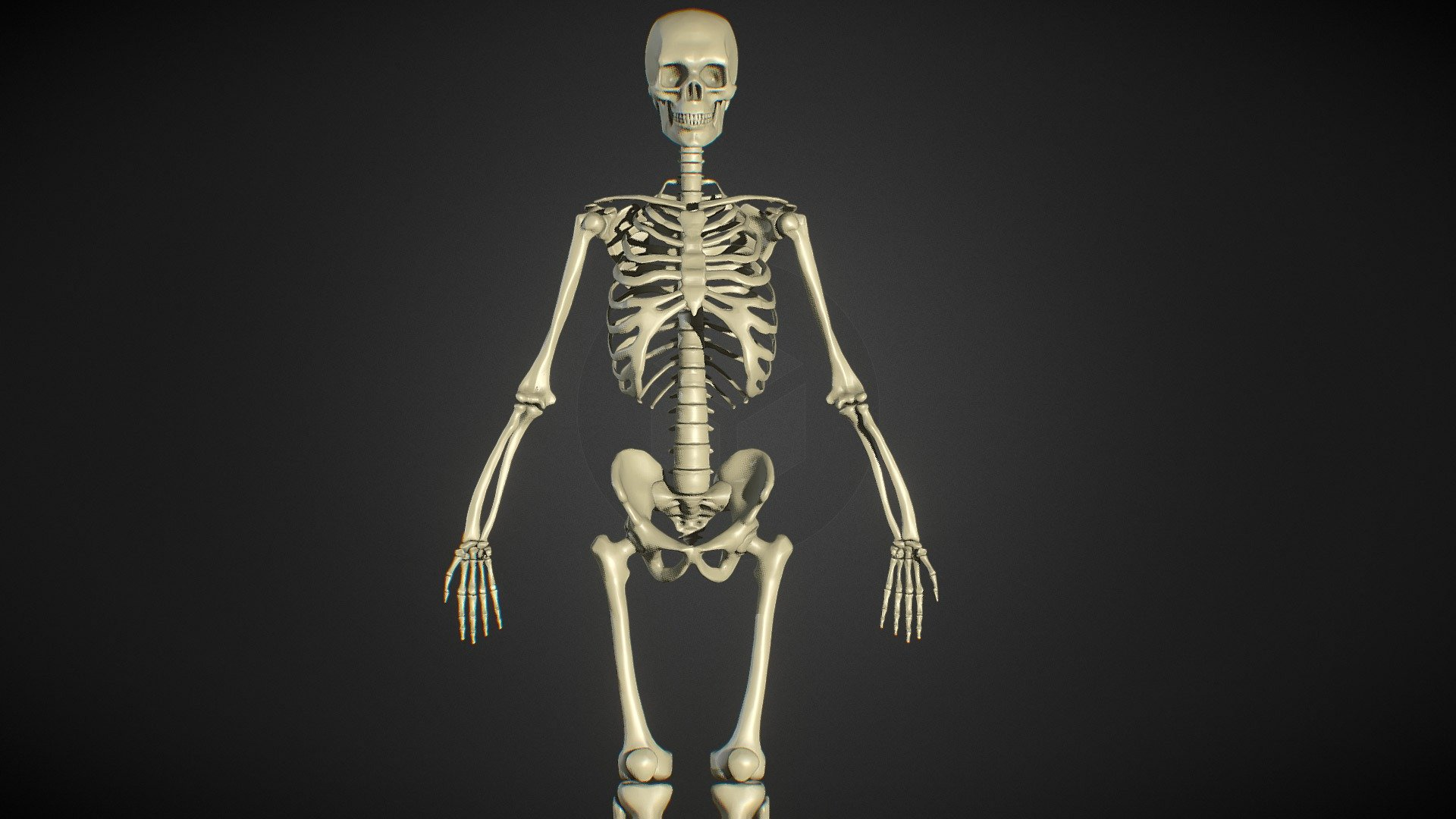 diagram of male skeleton male human skeleton zbrush anatomy study 3d model by ruslan  human skeleton zbrush anatomy study