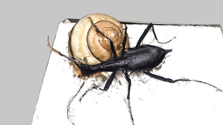 carabid beetle eating a snail: マイマイカブリ生態標本 3D Model