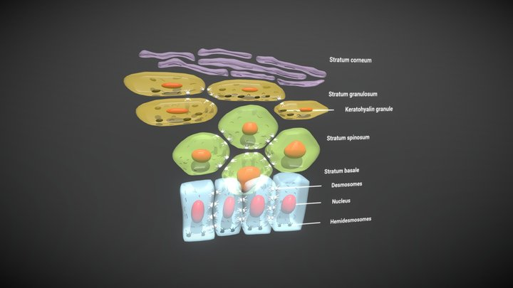 Oral Epithelial Cells 3D Model