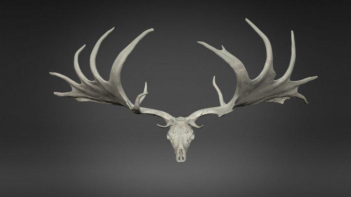 Tête de Mégacéros 3D Model