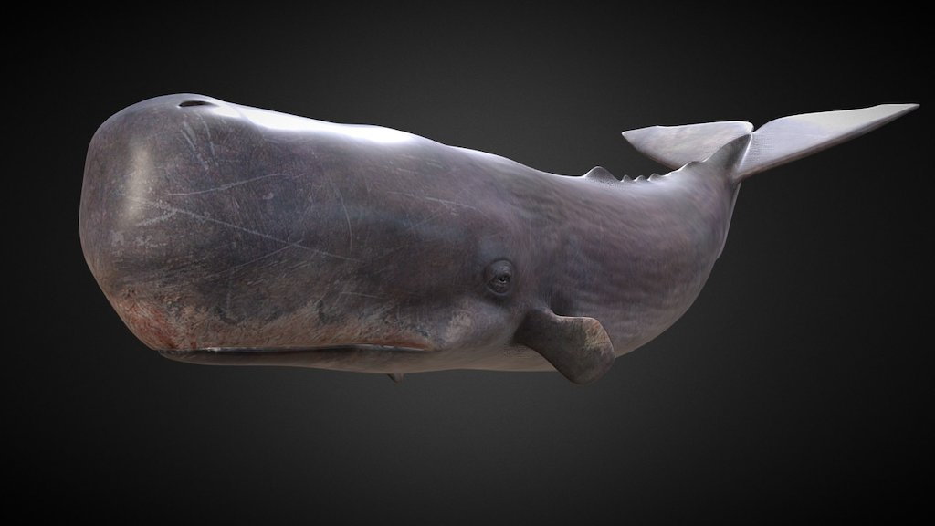 sperm whale 3d