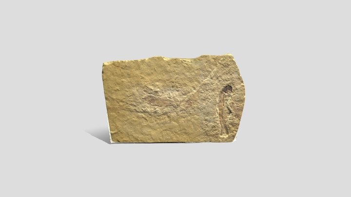 Fossil Fish _Gosiutichthys parvus_ Eocene 3D Model