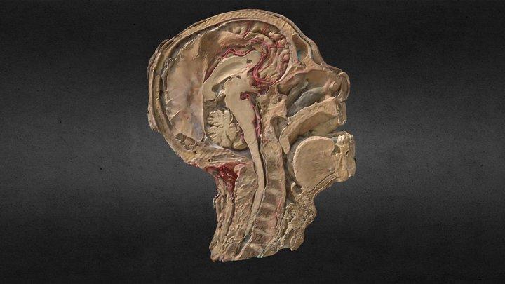 Corte sagital de cabeza/Sagittal head section 3D Model