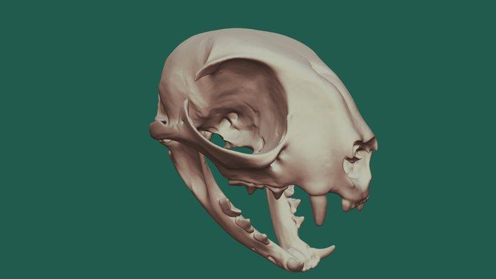 Domestic Cat Skull 3D Model
