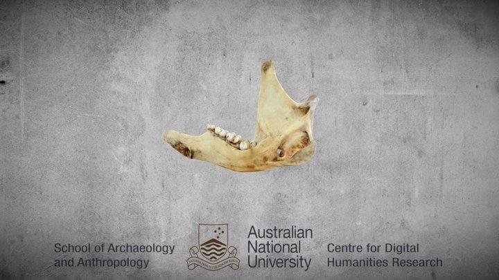 kangaroo bottom right jaw 3D Model