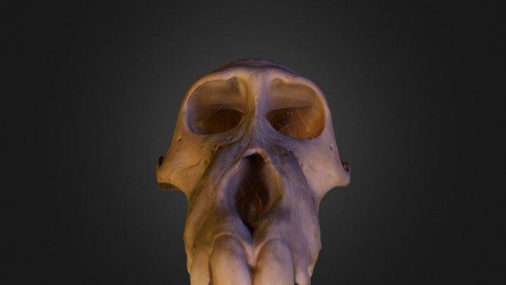 #3DST9 Papio hamadryas skull 3D Model