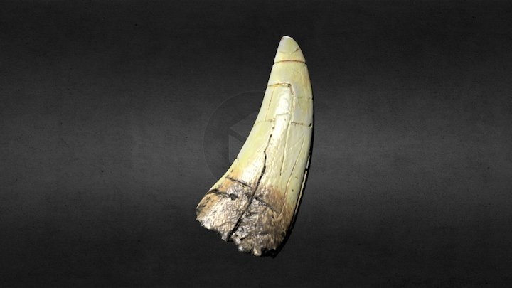Tyrannosaurus Tooth | Dant Tyranosor 3D Model