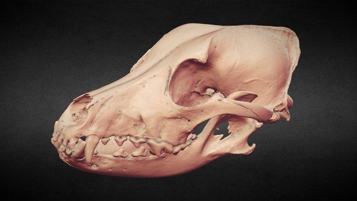 【Xray-CT】Vulpes vulpes [アカギツネ、赤狐] 3D Model