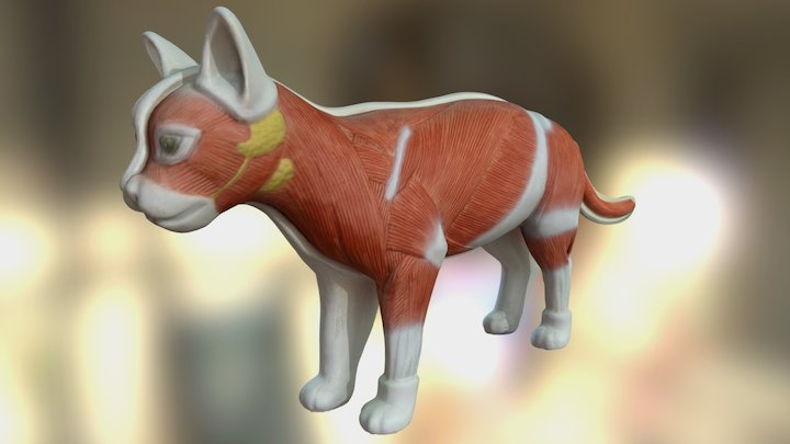 3D anatomy model of cat with muscle structure 3D Model