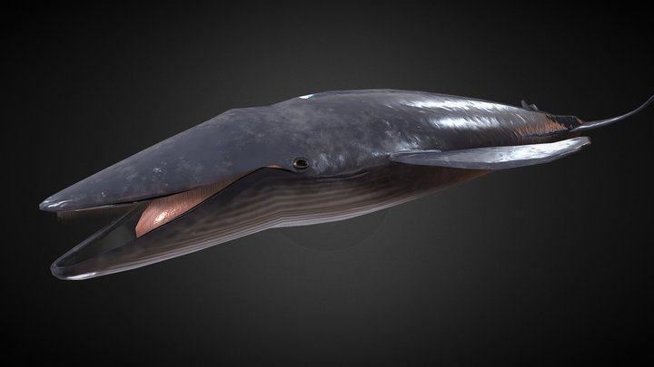 Blue Whale Rigged 3D Model