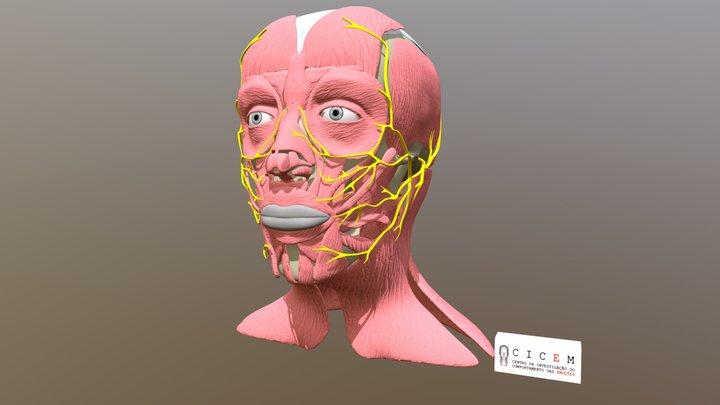 Anatomia da Face 3D e Nervo Craniano VII 3D Model
