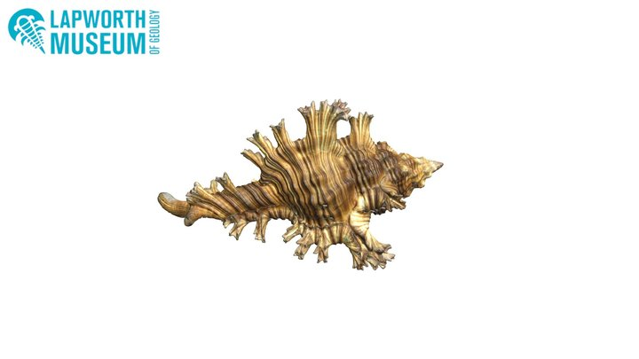 Chicoreus palmarosae BIRUG 22623 3D Model