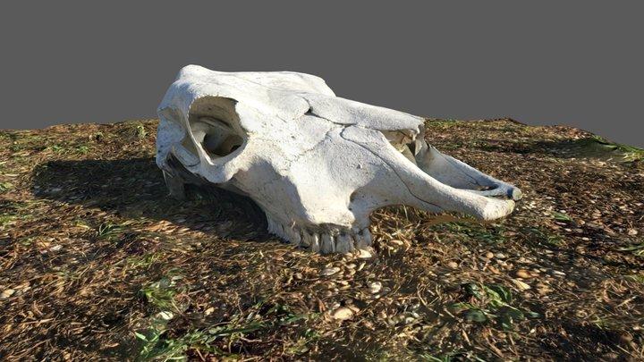 Cow Skull 3D Model