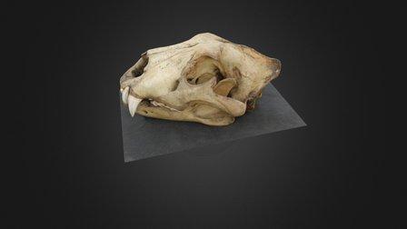 High setting render lion skull 3D Model