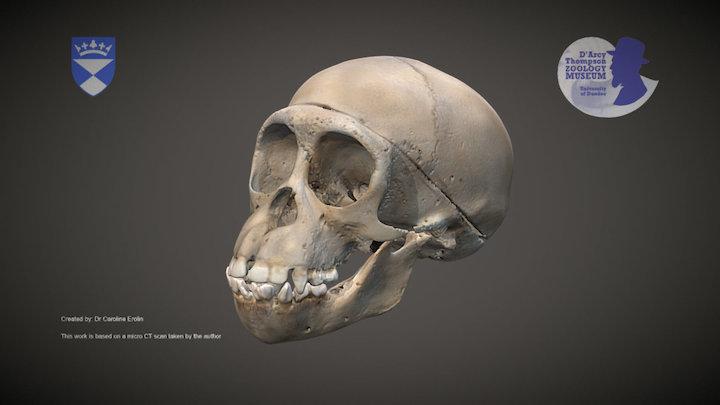 Chimpanzee skull 3D Model
