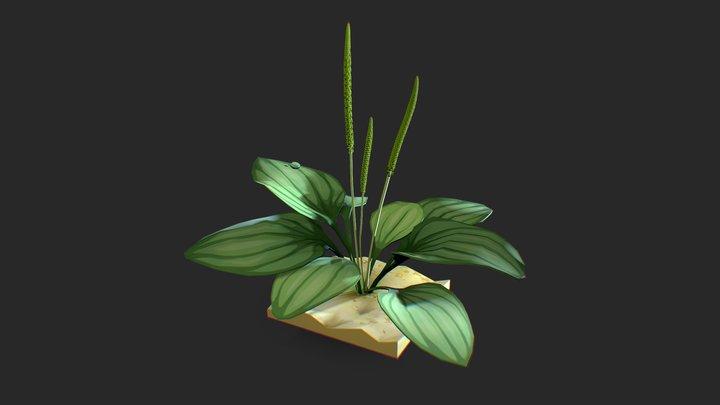 Plantago_daily_draft 3D Model