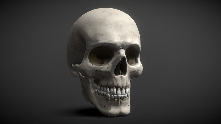 3D Realistic Anatomical Human Male Skull model 3D Model