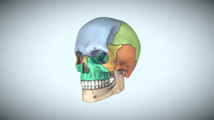 Skull For Reference 3D Model
