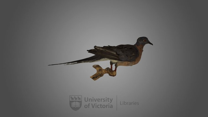 Passenger Pigeon specimen 3D Model