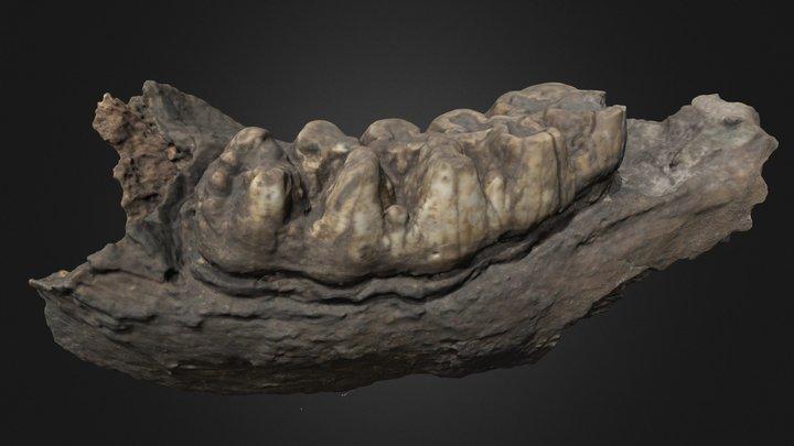 Rama mandibular con molar 2461/ 6-3504 3D Model