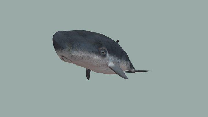 Pygmy sperm whale 3D Model
