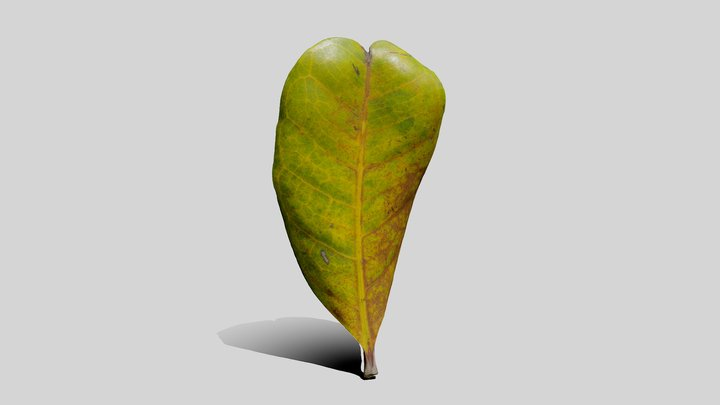 Cupaniopsis Anacardioides Leaf 3D Model