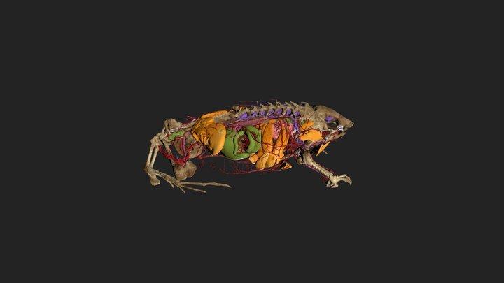 Hemisus guineensis CAS-H-253533 internal anatomy 3D Model