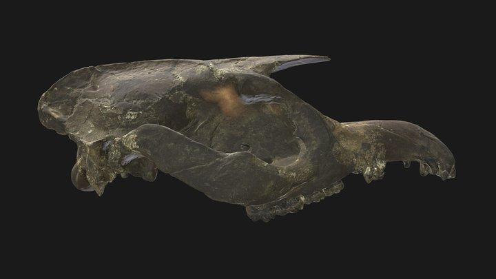 Dwarf Tapir Skull (Pliocene), Gray Fossil Site 3D Model