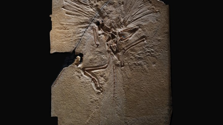 Archaeopteryx - Natural History Museum, London 3D Model