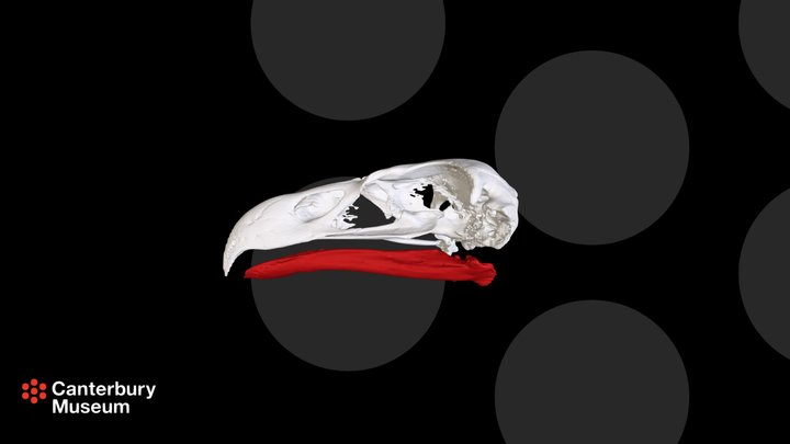 Haasts Eagle Aquila moorei 3D Model