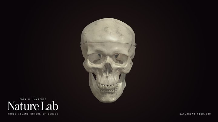 Human Skull (Replica) 3D Model