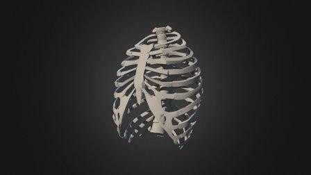 Ribcage Simplification 5 3D Model