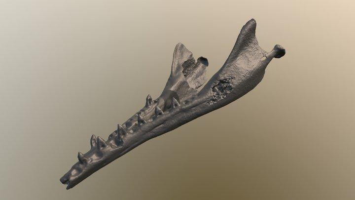 Cotylocara extinct dolphin mandibles CCNHM 101 3D Model