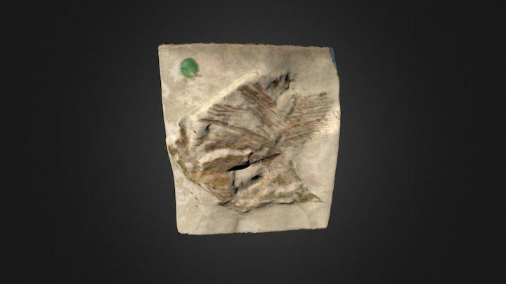 Microdon occipitalis (BMB 007250) 3D Model