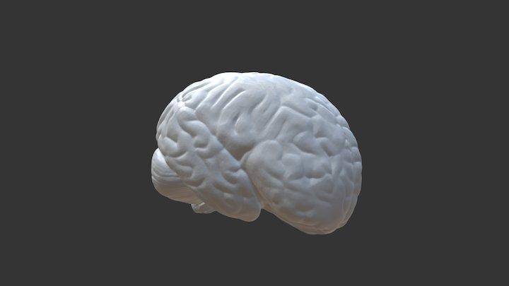Brain Model 3D Model