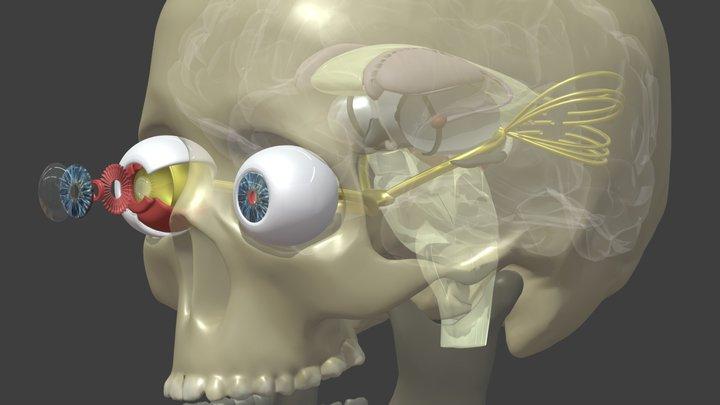Eyeball Extension Neuroanatomy 3D Model