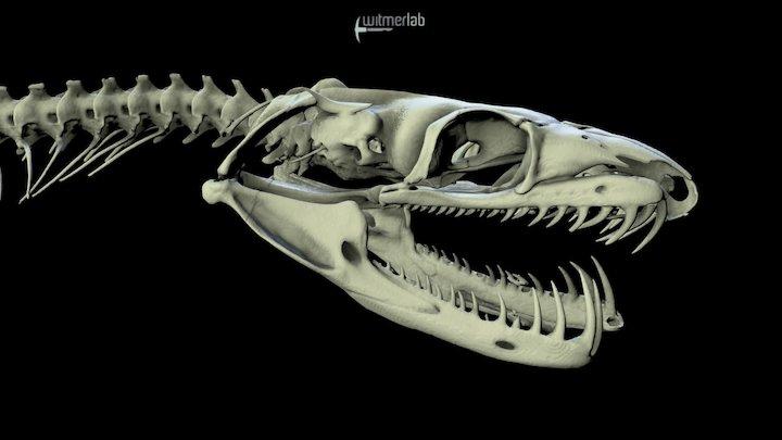 Tree Boa - snake skull 3D Model