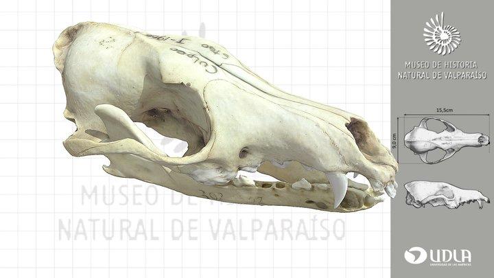 Craneo de zorro Culpeo / Culpeo Skull 3D Model