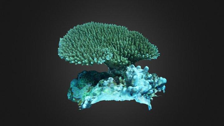 Acropora sp. 3D Model