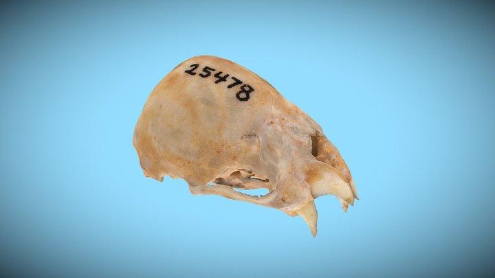 Fossil vampire bat skull 3D Model