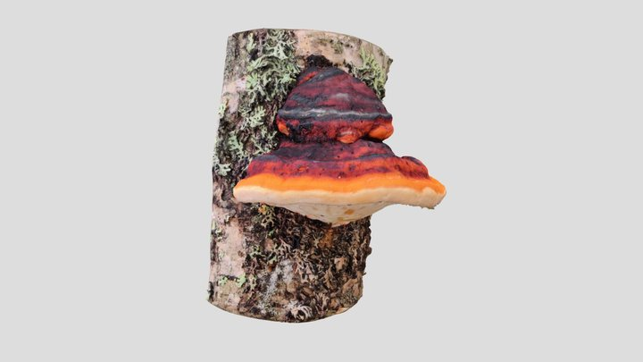 Kantokääpä (Fomitopsis pinicola) 3D Model