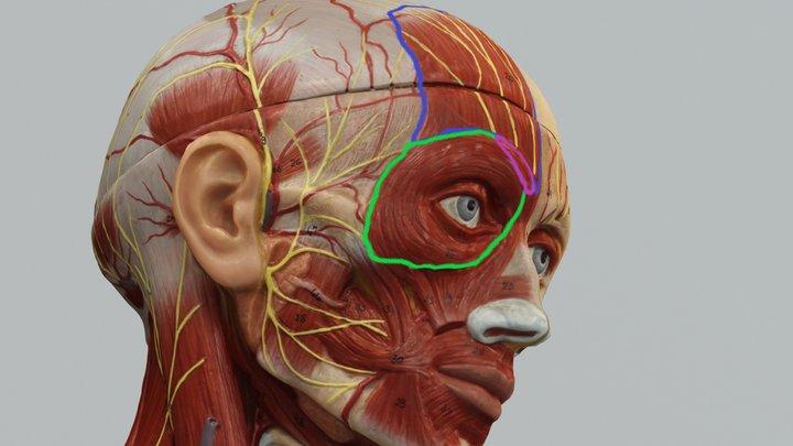 Model Temporal Branch of Facial Nerve 3D Model
